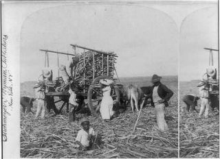 Loading ox carts with sugar cane for the Mill,Marianao,​Cuba