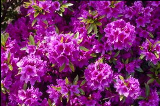 10 12 AZALEA HERBERT HARDY EVERGREEN BUSH PURPLE FLOWERS FULL SUN ZONE
