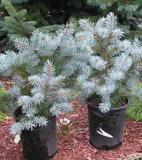 Weeping Colorado Blue Spruce 8 12 in Evergreen Christmas Tree Great