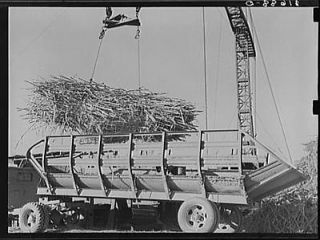 Unloading sugarcane from special trailer at sugar mill near Jeanerette